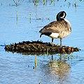 Canada Goose Dutch Gap Conservation Area Chester VA 8621 (23989134036).jpg