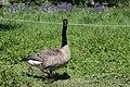Canada goose - Branta canadensis (41257768964).jpg