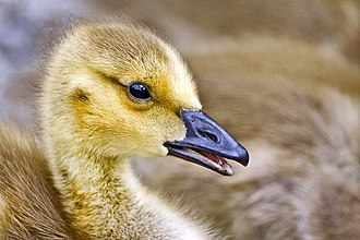Canada goose - Yellow plumage of gosling