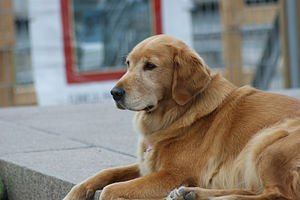 Golden Retriever - Canadian Golden Retriever