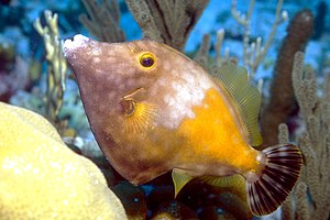 Weißflecken-Feilenfisch (Cantherhines macrocerus)