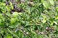 Canthium coromandelicum 1430.jpg