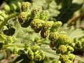 Canyon Ragweed - Flickr - treegrow.jpg