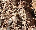 Canyon Wren, Bright Angel Campground, Grand Canyon NP, AZ, November 7, 2012 (8173952671).jpg