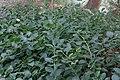 Capparis spinosa-Câprier commun 1-20160804.jpg
