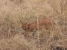Le Lynx du désert dans LYNX 220px-Caracal_in_South_Africa_-_by_Shaun_MItchem