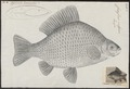 Carassius vulgaris - 1774-1804 - Print - Iconographia Zoologica - Special Collections University of Amsterdam - UBA01 IZ15000039.tif