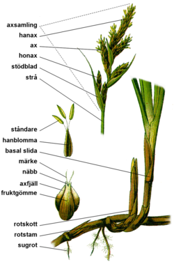 Carex anatomy.png