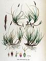 Carex ericetorum — Flora Batava — Volume v17.jpg