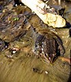 Cascades frog and beaver-chewed stick, Gurnsey Creek, Tehama County.jpg