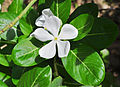 Catharanthus roseus white, West Bengal, India 20120903.jpg
