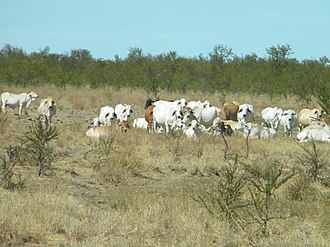 Carpentaria, Queensland - Cattle beside the Savannah Way (Burketon to Normanton Road), 2013