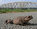 Caution, Toad Crossing - geograph.org.uk - 407432.jpg