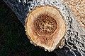 Cavités dans des bûches de peuplier blanc (46).JPG
