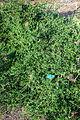 Ceanothus foliosus - San Luis Obispo Botanical Garden - DSC06049.JPG
