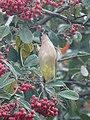Cedar Waxwing (40274219705).jpg