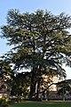 Cedro del Libano - Parco Massari (Ferrara).jpg