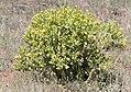 Centaurea polypodiifolia pseudobehen, Sivas 2017-07-02.jpg