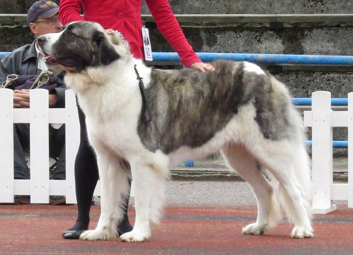 Central Asian Shepherd Dog For Sale