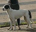 Central Asian Shepherd white & black 4.jpg
