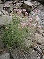 Centranthus angustifolius 001.JPG