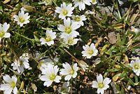 Cerastium cerastoides (Dreigriffel-Hornkraut) IMG 9095.jpg