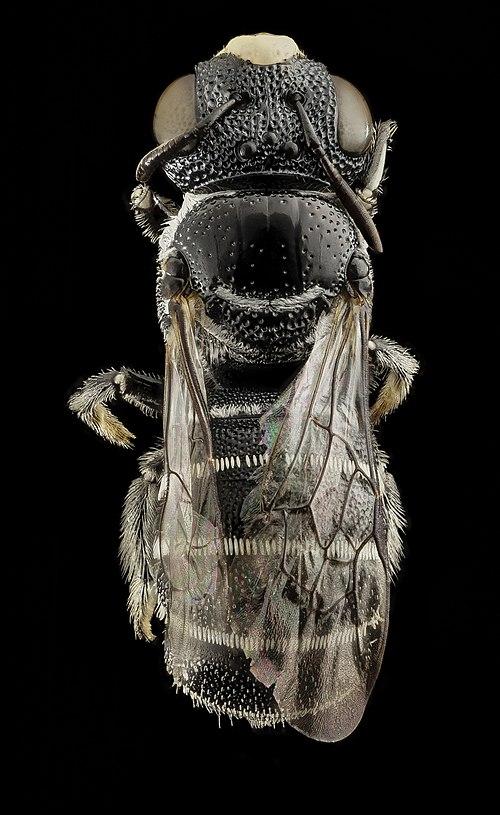 500px ceratina moerenhouti, back, kenya 2014 08 28 17.36.13 zs pmax (14895860799)