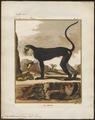 Cercopithecus mona - 1700-1880 - Print - Iconographia Zoologica - Special Collections University of Amsterdam - UBA01 IZ19900111.tif