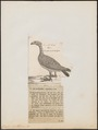Cereopsis novae hollandiae - 1782-1825 - Print - Iconographia Zoologica - Special Collections University of Amsterdam - UBA01 IZ17600123.tif