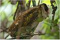 Ceylon Bay Owl2 Abhilash Arjunan.jpg
