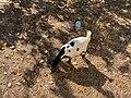 Chèvre Parcelle près Place Champ Foire - Marcigny - 2020-08-15 - 4.jpg