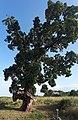 Chêne liège-Arbre remarquable 2018-Ghisonaccia.jpg