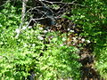 Chaerophyllum hirsutum 1.jpg