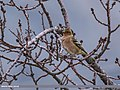 Chaffinch (Fringilla coelebs) (31118711486).jpg