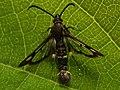 Chamaesphecia tenthrediniformis (40339351145).jpg