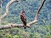 Changable Hawk-eagle Bhavani AJTJ IMG 8853.jpg