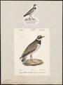 Charadrius hiaticula - 1700-1880 - Print - Iconographia Zoologica - Special Collections University of Amsterdam - UBA01 IZ17200223.tif
