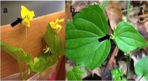 Chasmogamy - Chasmogamous (a) and cleistogamous (b) flowers of Viola pubescens. Arrows point to structure.