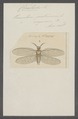 Chauliodes - Print - Iconographia Zoologica - Special Collections University of Amsterdam - UBAINV0274 064 02 0011.tif