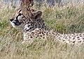 Cheetah (3950231153).jpg