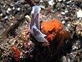 Chelidonura amoena (14403128064).jpg
