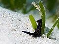 Chelidonura hirundinina (37838626881).jpg