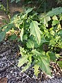 Chenopodium murale sl60.jpg