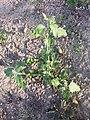 Chenopodium murale sl64.jpg