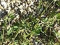 Chenopodium vulvaria sl52.jpg
