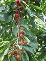 Cherry-branch-02.jpg