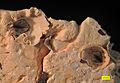 Chesaconcavus base detail.jpg