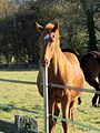Chestnut horse Hatfield Broad Oak Essex England 2.jpg