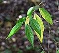 Chimonanthus yunnanensis in Auckland Botanic Gardens 03.jpg