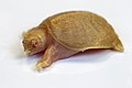 Chinese soft-shelled albino turtle (37090442144).jpg